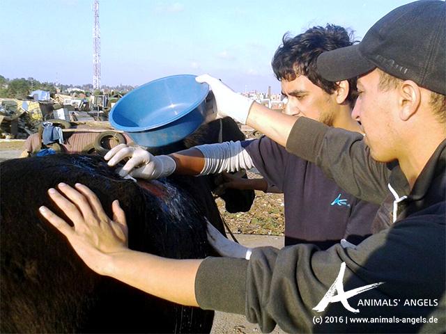Wundversorgung auf dem Tiermarkt von Mers El Kheir, Marokko