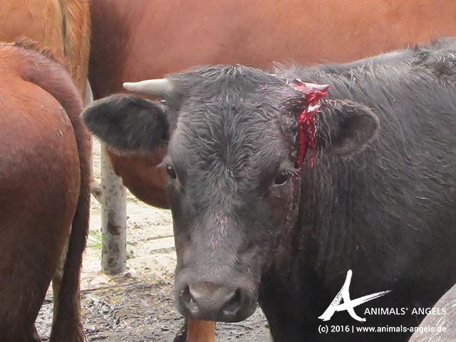 Rind mit abgebrochenem Horn auf einem Saleyard in Australien