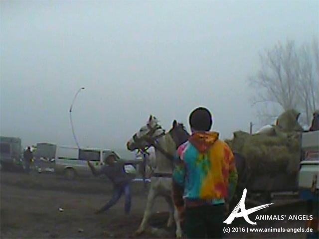 Quälerei von Pferden auf dem Tiermarkt von Vicovu de Sus, Rumänien