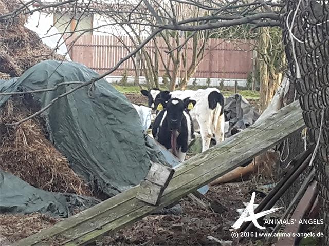 2015: Kontrolle einer Rinderhalung in Polen