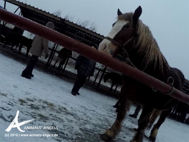 Kontrolle des Tiermarktes in Kozlow Biskupi, Polen