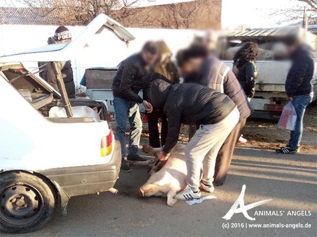 Gewaltsame Behandlung eines Schweins. Tiermarkt Calarasi, Rumänien.