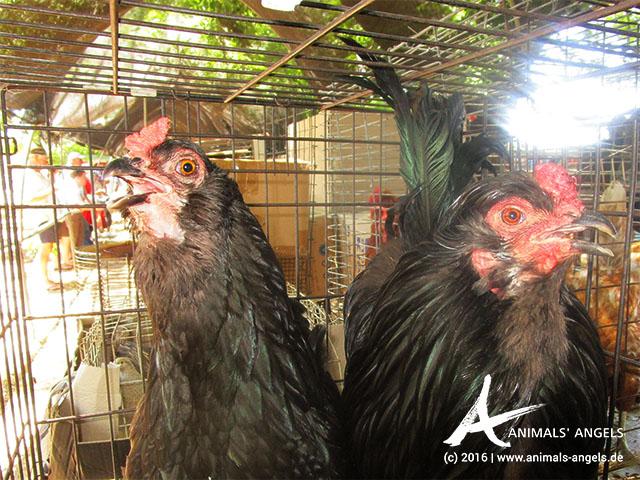 Hitzestress bei zwei Hühnern, Tiermarkt Mundijong