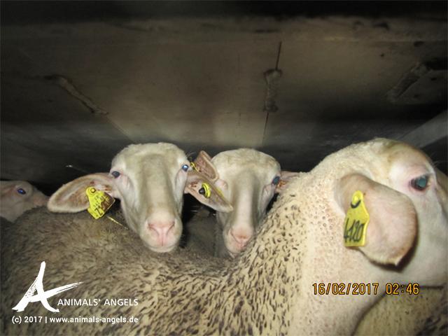 Tiertransport: Schafe von Frankreich nach Italien
