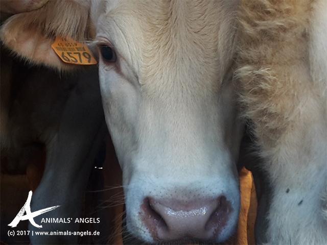 Tiertransport EU: junge Rinder von Spanien nach Griechenland