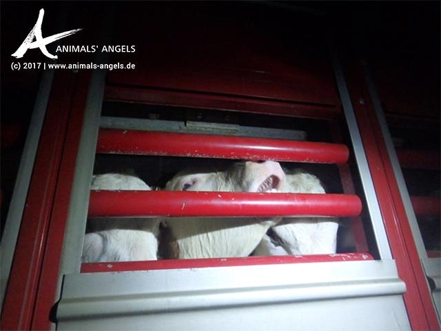 Tiertransport: Nicht entwöhnte Kälber von Rumänien nach Spanien
