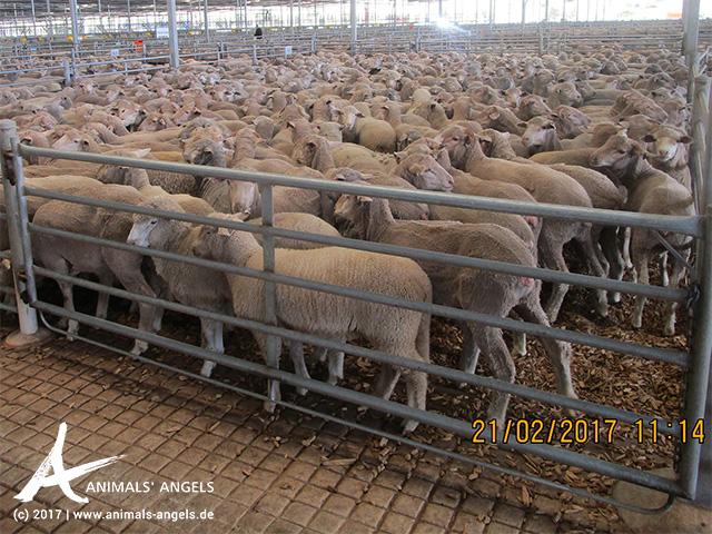 Schafe in Pferch, Saleyard Muchea, Australien