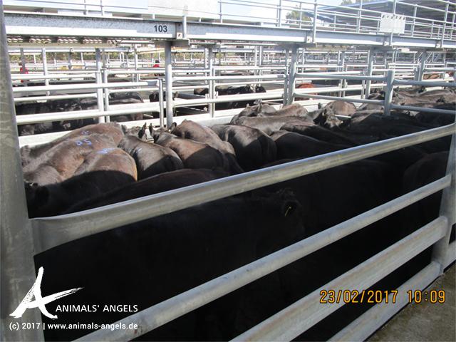 Überfüllter Pferch mit Rindern, Saleyard Australien