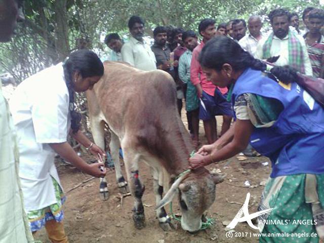 Animals' Angels im Einsatz auf Rindermärkten in Indien