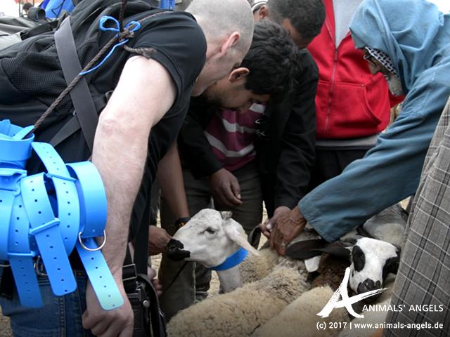Animal Week: Halsbänder für Schafe
