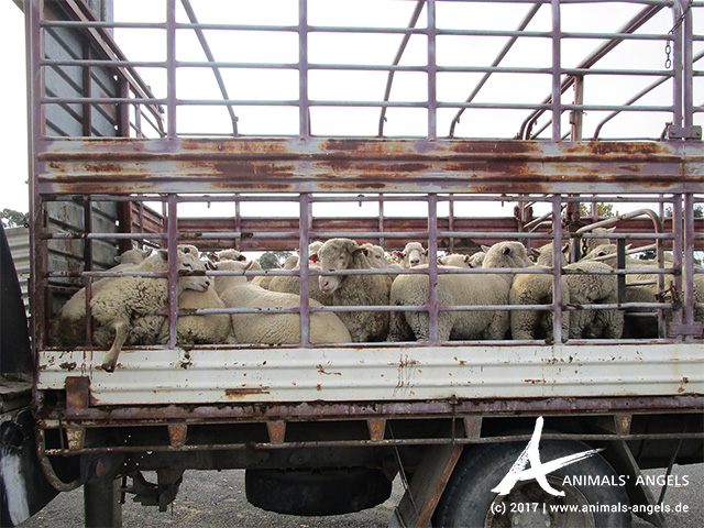Überladener Transporter mit Schafen, Australien