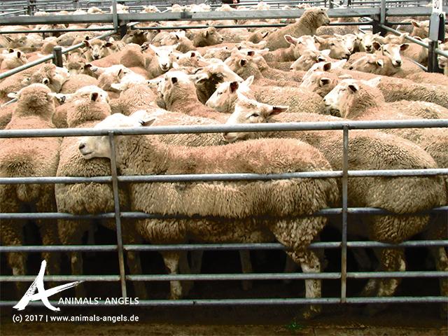 Überfüllter Schaf-Pferch, Saleyard Australien