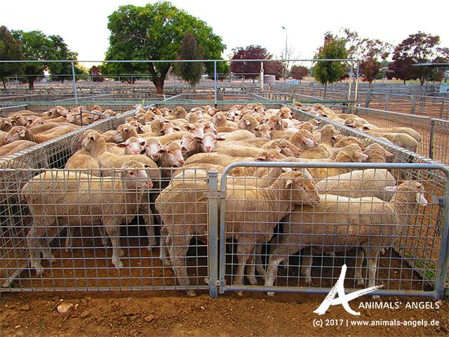 Schafe Saleyard Australien