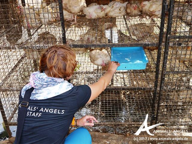 Animals' Angels ist im Einsatz für die Hühner in Indien