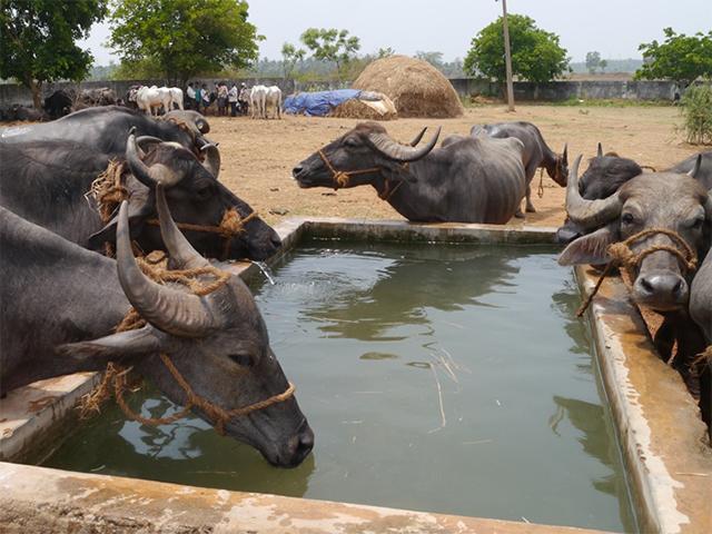 Tiermarkt P. L. Puram, Indien: Für die Tiere wurden Verbesserungen erreicht.