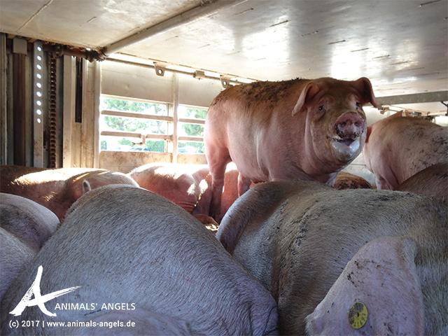 Tiertransport mit Schweinen in Italien: Die Tiere leiden unter Hitzestress