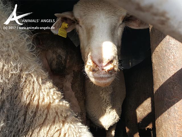 Tiertransporte mit Schafen von Frankreich nach Italien: Überhöhte Ladedichte und Hitzestress
