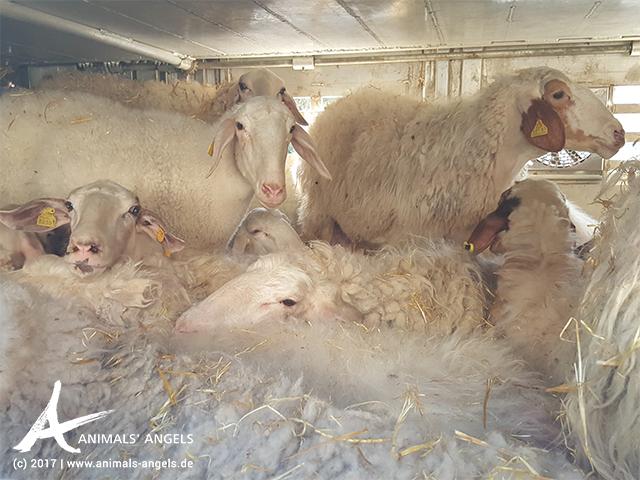 Tiertransport mit Schafen von Spanien nach Griechenland: Überschreitung der erlaubten Transportzeit bei Temperaturen über 35 °C