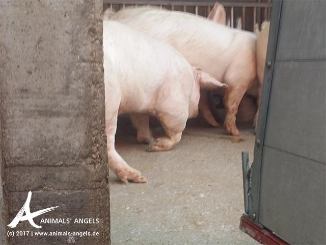 Schweine-Transport in Italien: Verletztes Tier