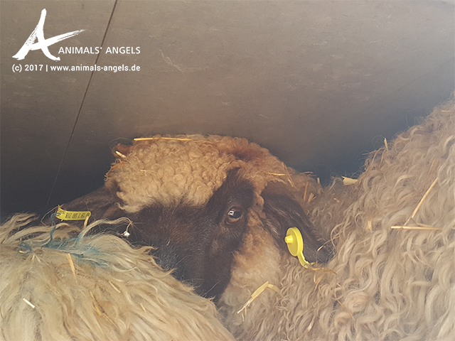 Tiertransporte in Italien: Junge Schafe aus Rumänien