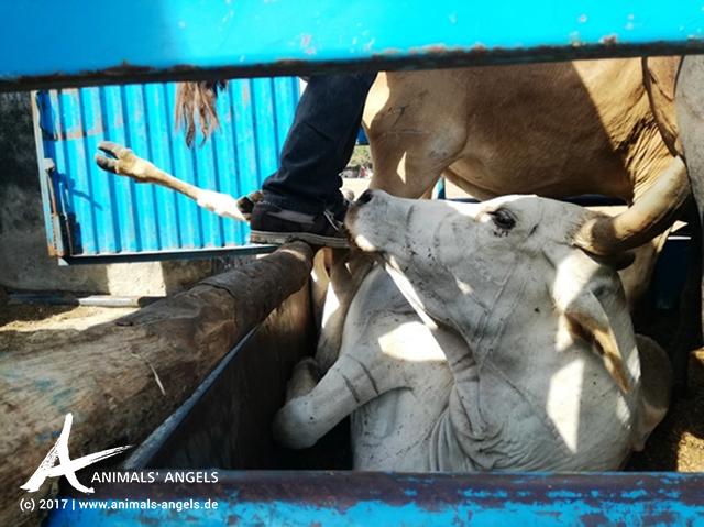 Verladung auf dem Rindermarkt von Pugu, Tansania