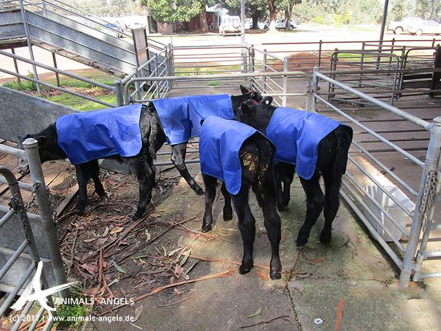 Kälber auf dem Weg zur Laderampe, Saleyard Australien