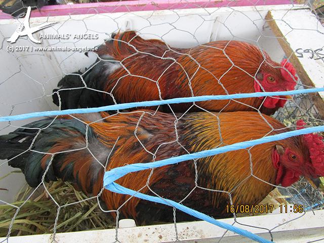 Zwei Hähne in einer engen Box, Tiermarkt Mundijong, Australien