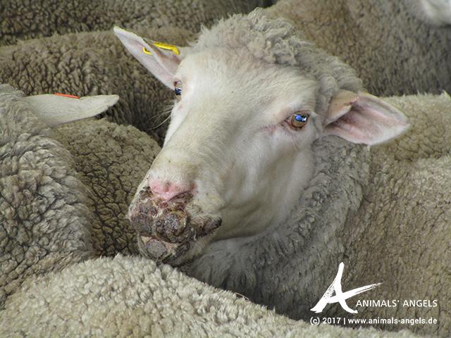 Schaf mit Lippengrind, Saleyard Australien