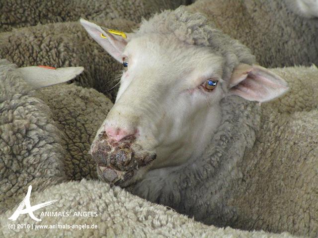 Schaf mit Lippengrind auf Saleyard in Australien