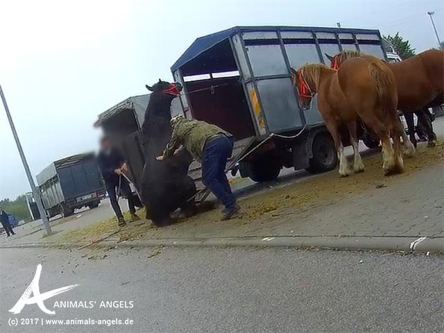 Gewaltsame Verladung eines Pferdes, Pferdemarkt Pajeczno, Polen