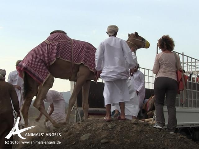 Verladung von Kamelen im Oman