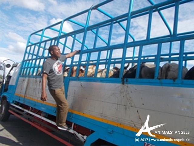 Im Auftrag von Animals' Angels kontrolliert TAWESO Tiertransporte am Kibaha Checkpoint in Tansania