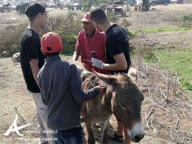 Animals' Angels versorgt die Wunden eines Esels auf dem Tiermarkt von Skherat, Marokko