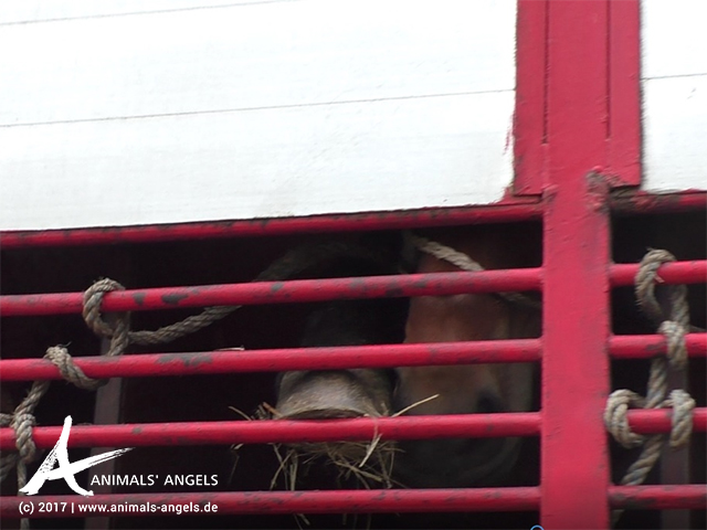 Tiertransporte mit Pferden von Polen nach Italien