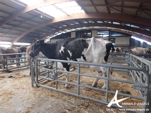 Anabel, eine lahme Kuh, auf dem Tiermarkt in Pola de Siero, Spanien