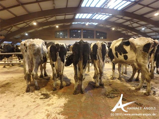[Translate to englisch:] Kühe auf dem Tiermarkt von Santiago de Compostela, Spanien