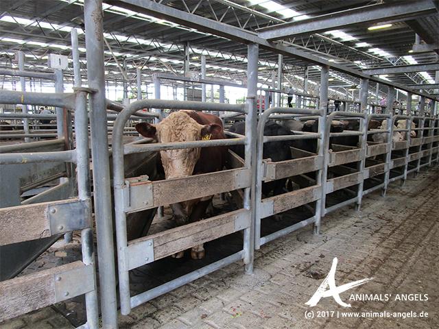Pferche mit Rindern, Saleyard Colac, Australien