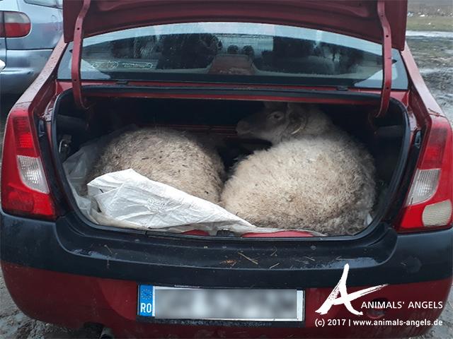 Schafe in einem Kofferraum, Tiermarkt Calugareni, Rumänien