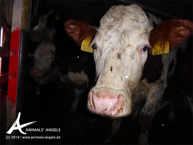 [Translate to englisch:] Tiertransport mit Rindern