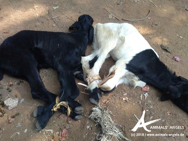 Ziegen mit zusammengeschnürten Beinen, Tiermarkt Thallapalem, Indien