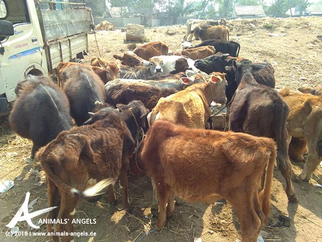 Junge Rinder auf dem Tiermarkt in Thummapala, Indien