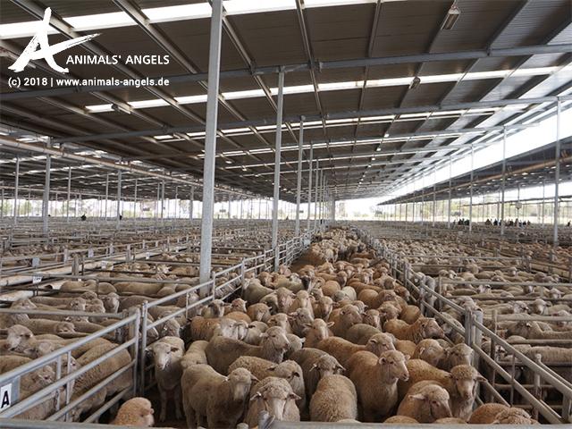 Tausende von Schafen in einer Verkaufshalle auf einem Saleyard in West-Australien