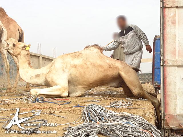 Kamel rutscht beim Entladen in Spalt zwischen LKW und Laderampe. Kamelmarkt Birqash, Ägypten