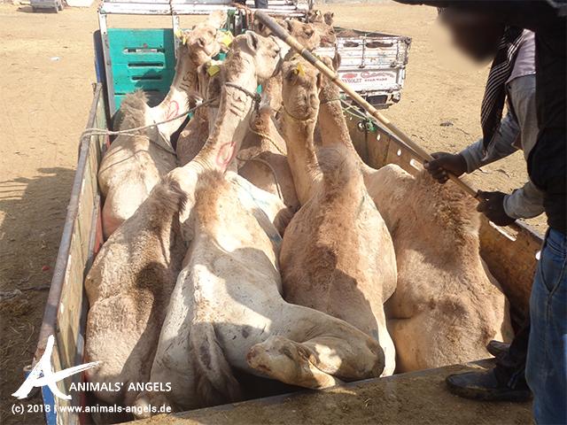 Kameltransport auf dem Tiermarkt in Birqash, Ägypten