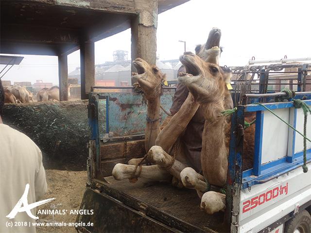 Kamele auf einem Transporter, Tiermarkt Birqash, Ägypten