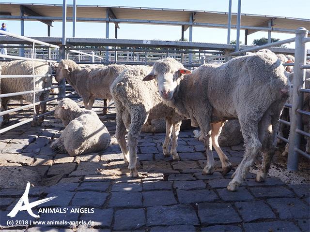 Schafe auf einem Saleyard in Australien