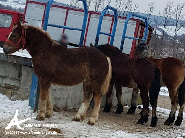 Pferde auf dem Tiermarkt in Bodzentyn, Polen