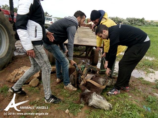 Das Team von Animals' Angels hilft dem zusammengebrochenen Esel wieder auf die Beine