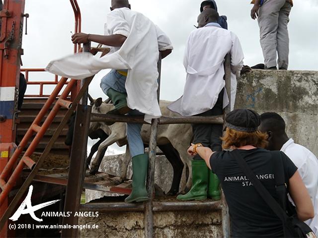 Gemeinsam mit den Studierenden besucht Animals' Angels einen Rinder- und Ziegenmarkt