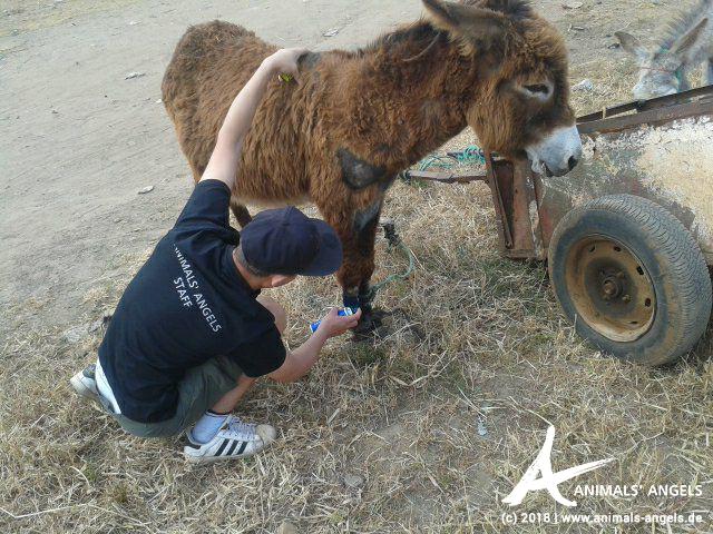 Animals' Angels hilft den Eseln auf dem Tiermarkt Skherat, Marokko